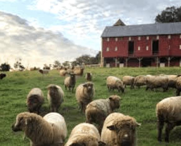A flock of sheep grazing